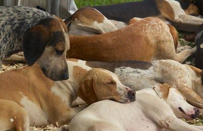 foxhound health